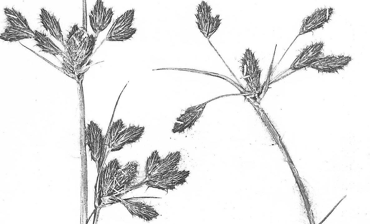 Bolboschoenus glaucus