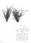 Eleocharis atropurpurea