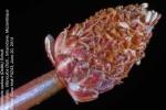 Eleocharis caduca