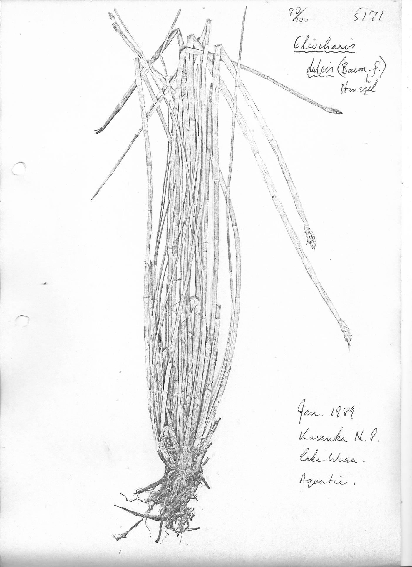 Eleocharis dulcis