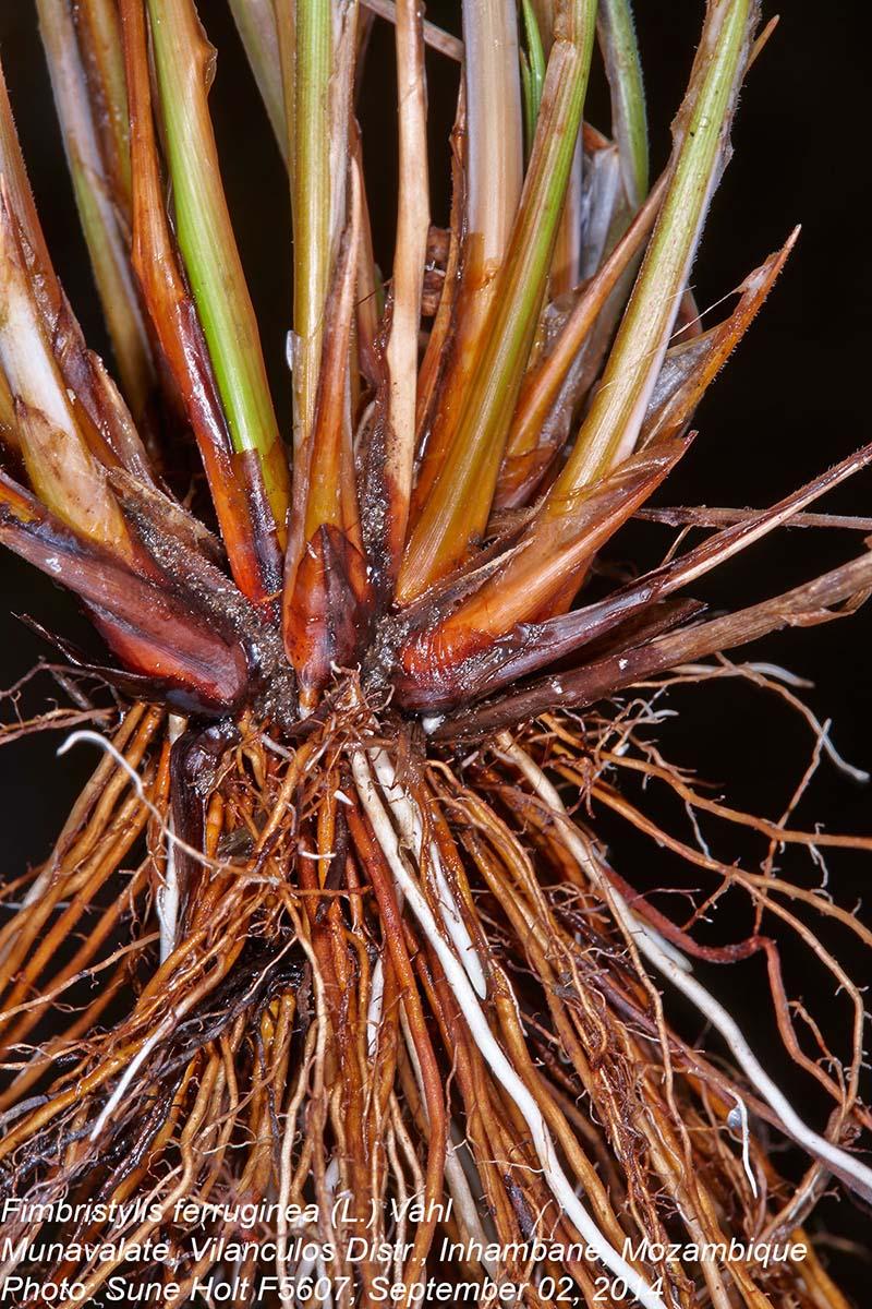 Fimbristylis ferruginea