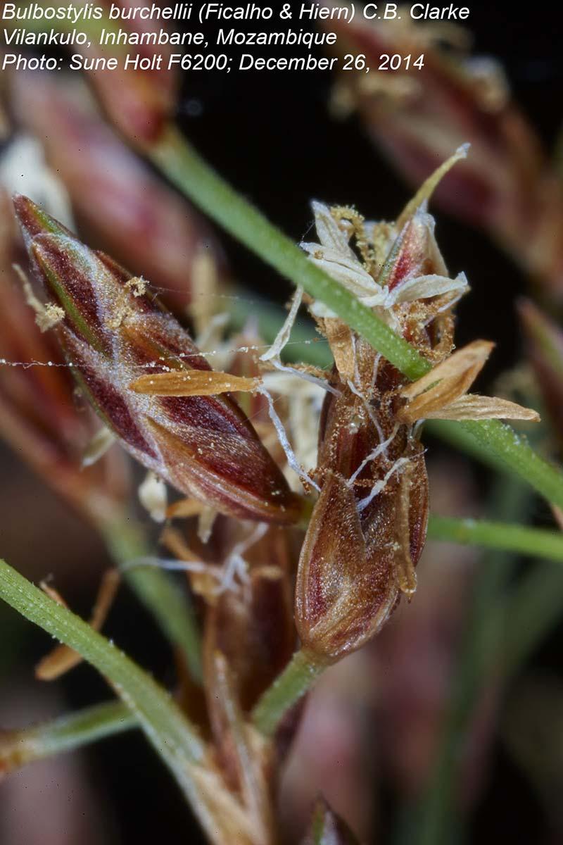 Bulbostylis burchellii