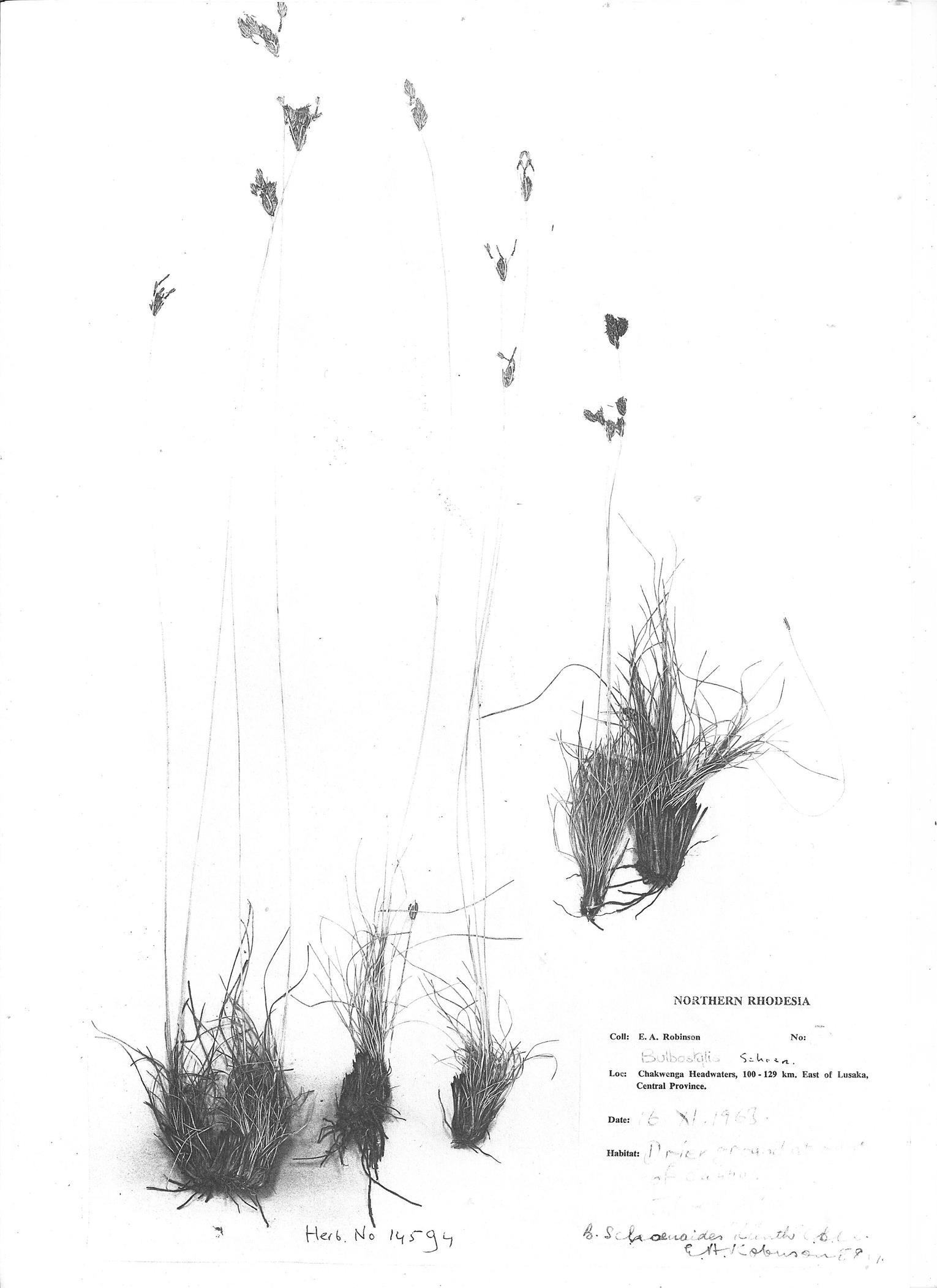 Bulbostylis contexta