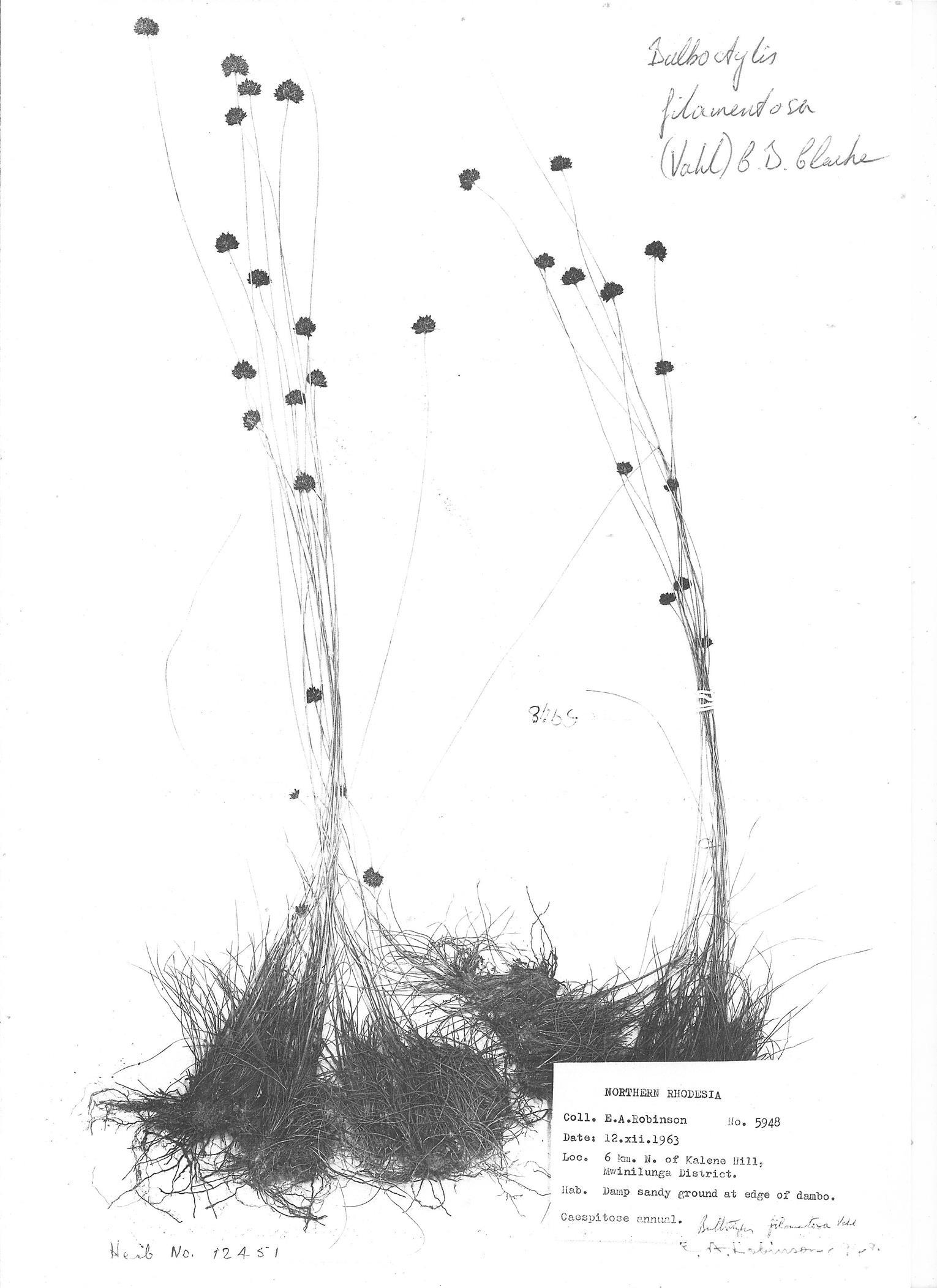 Bulbostylis filamentosa