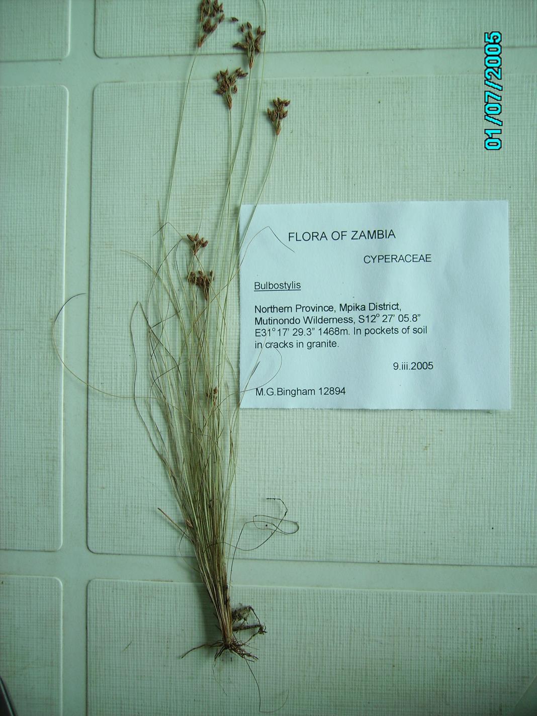 Bulbostylis hispidula