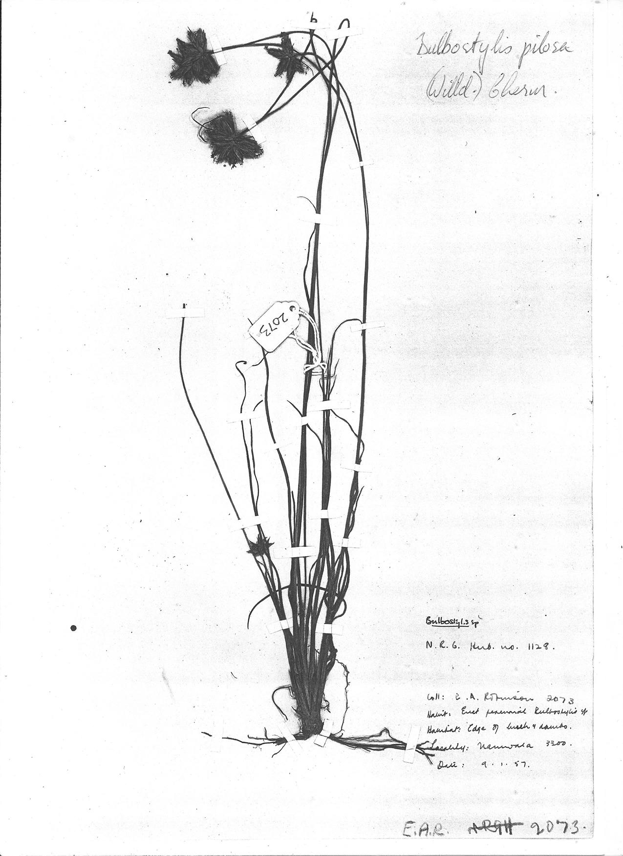 Bulbostylis pilosa