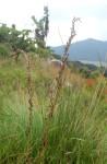Costularia natalensis