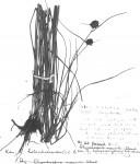 Rhynchospora holoschoenoides