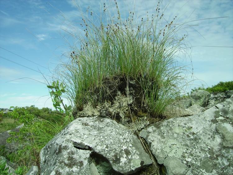 Coleochloa setifera