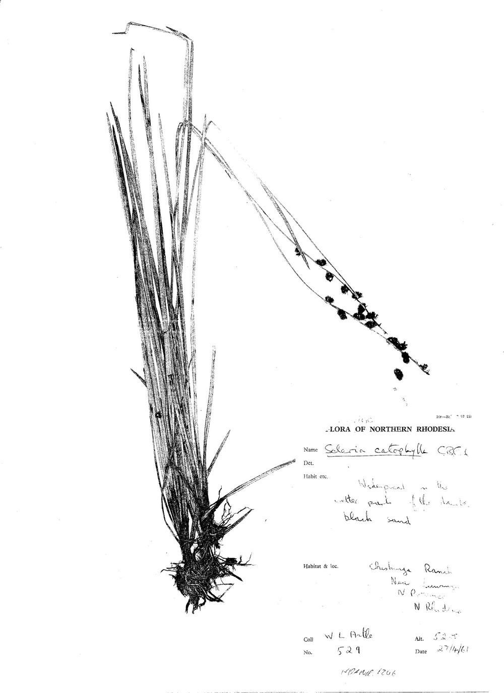 Scleria catophylla