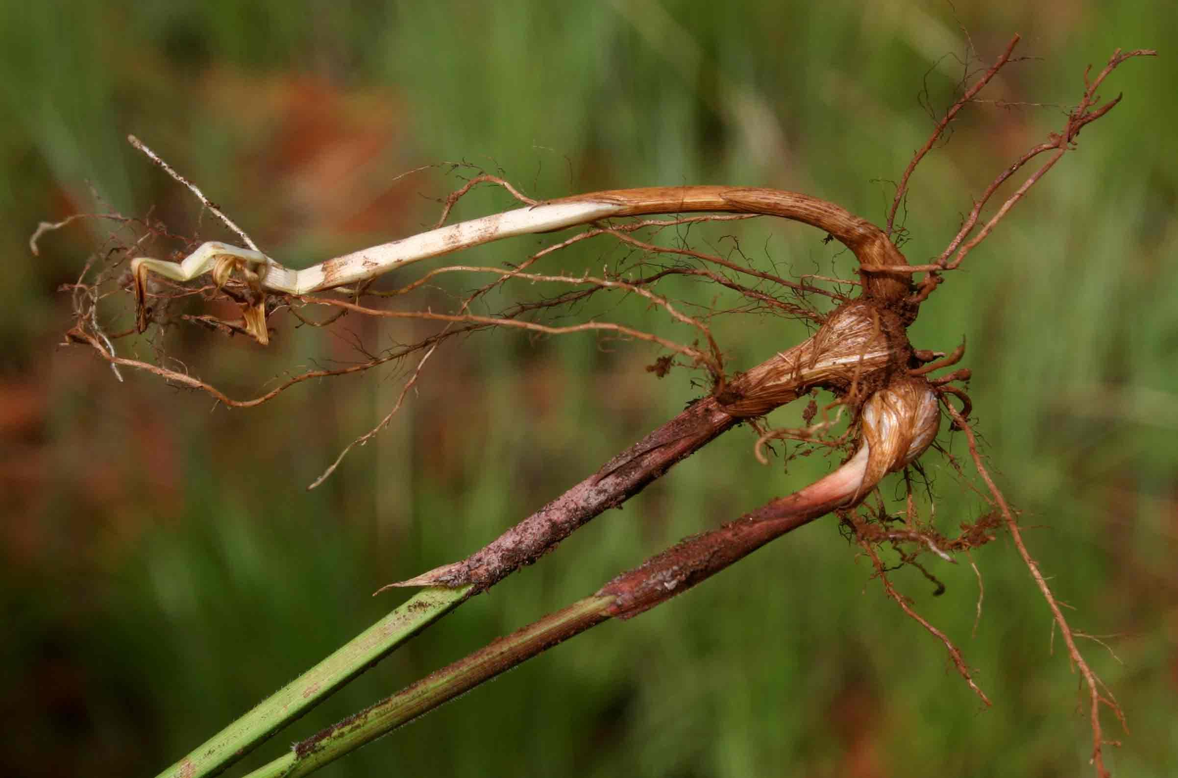 Scleria bulbifera