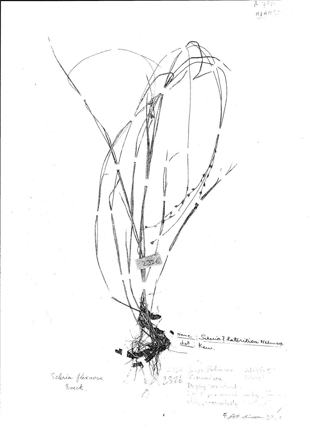 Scleria flexuosa
