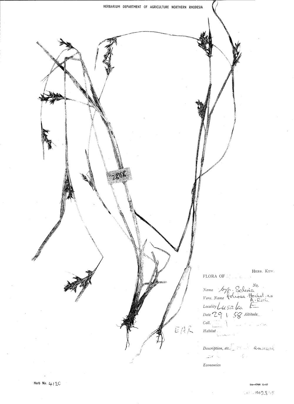 Scleria foliosa