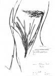 Scleria griegifolia