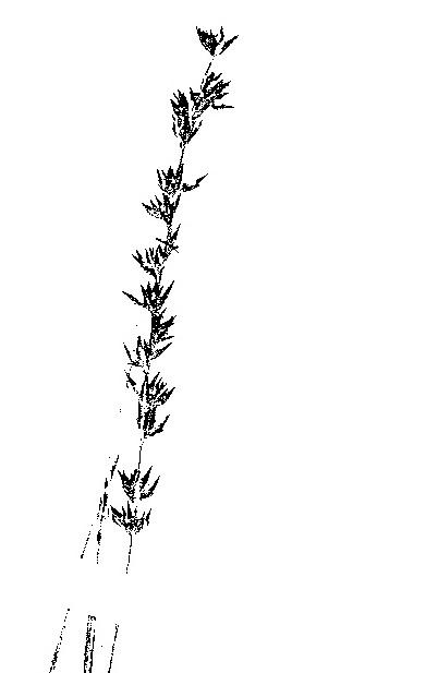 Scleria pergracilis