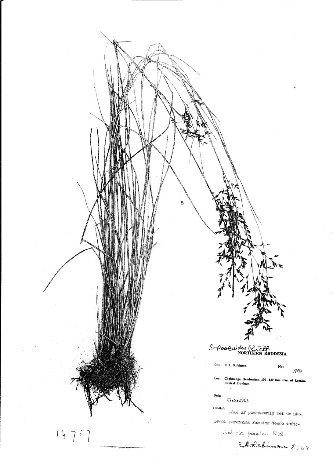 Scleria pooides
