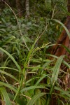 Scleria racemosa