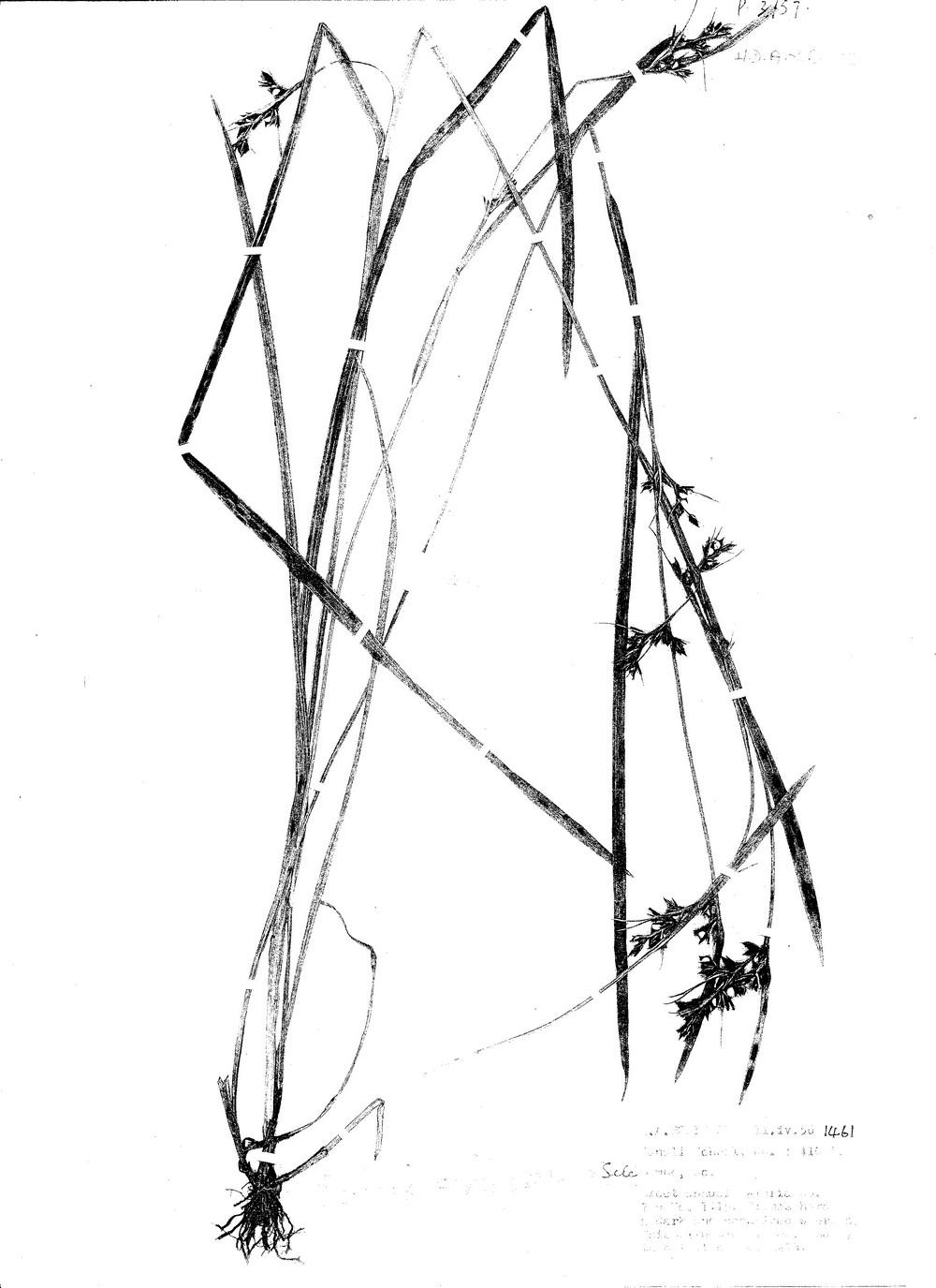 Scleria schimperiana