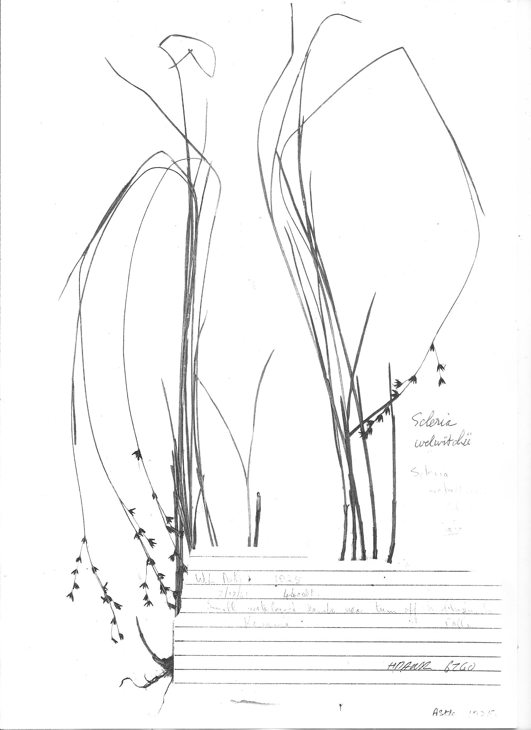 Scleria welwitschii