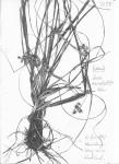Carex macrophyllidion