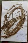 Carex rhodesiaca