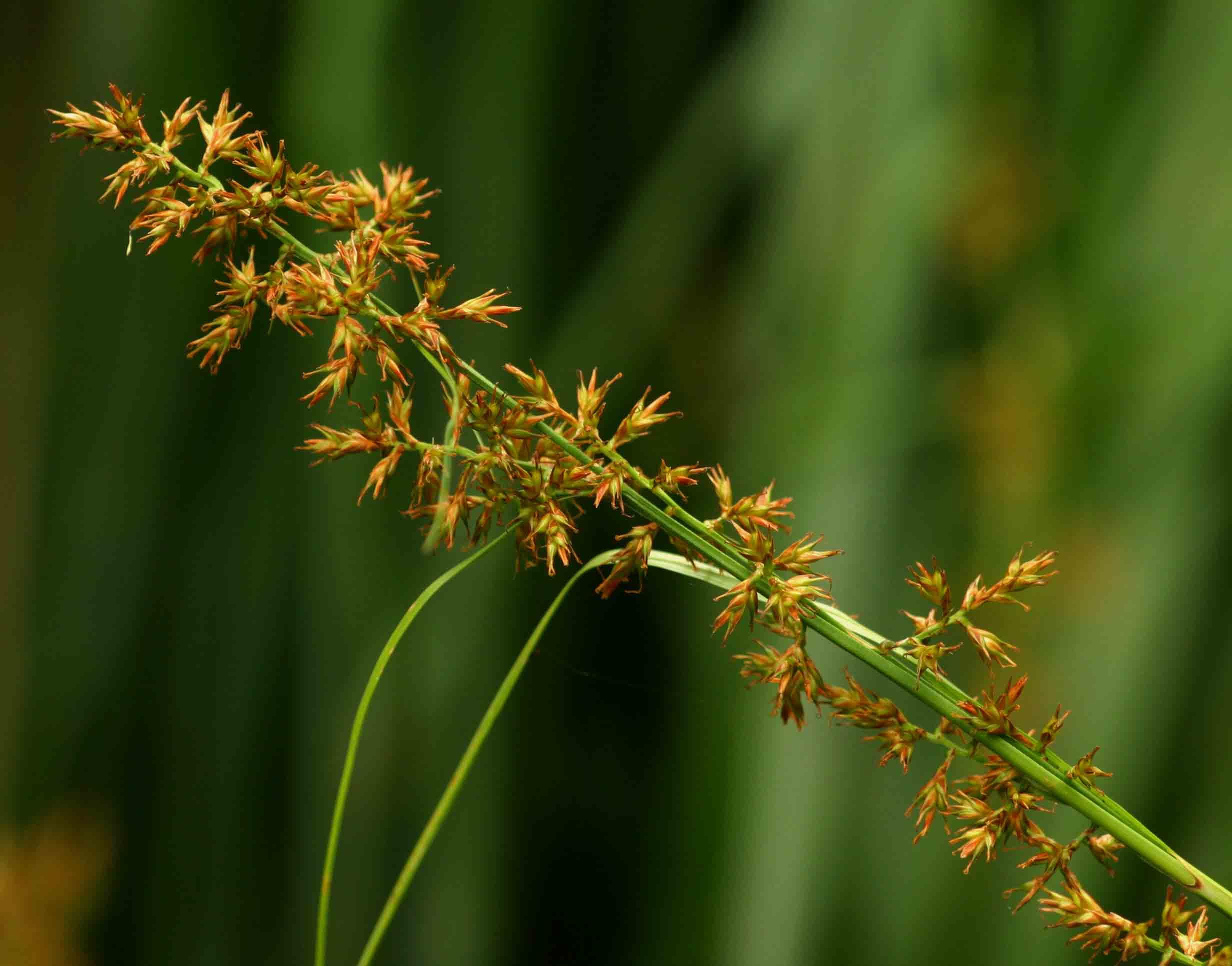 Carex spicato-paniculata