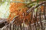 Phoenix reclinata
