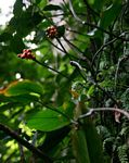 Culcasia falcifolia