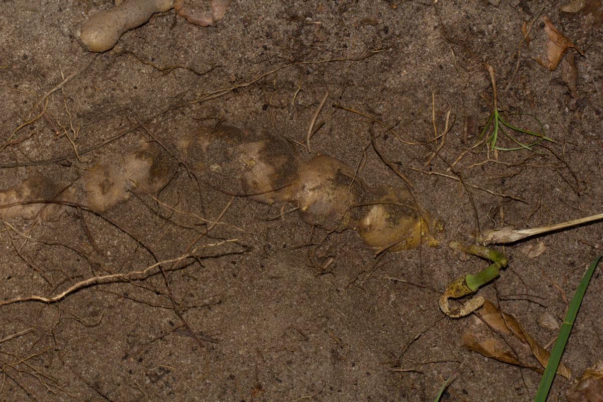 Gonatopus angustus