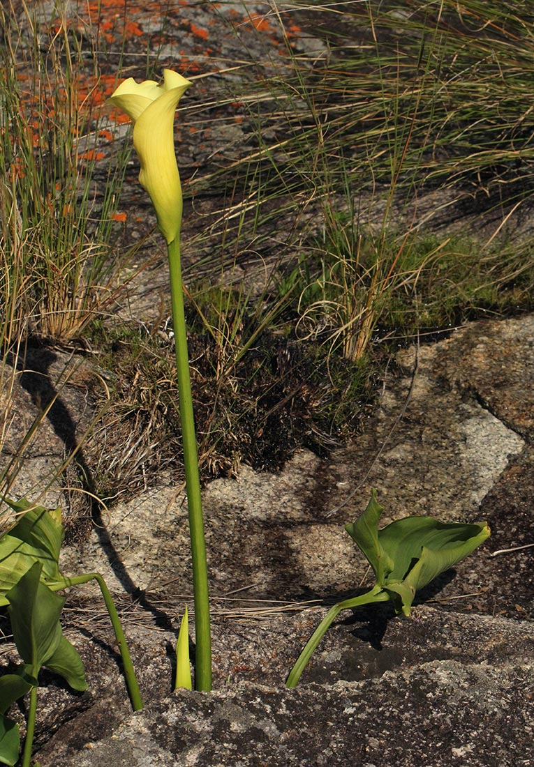 Zantedeschia albomaculata subsp. albomaculata