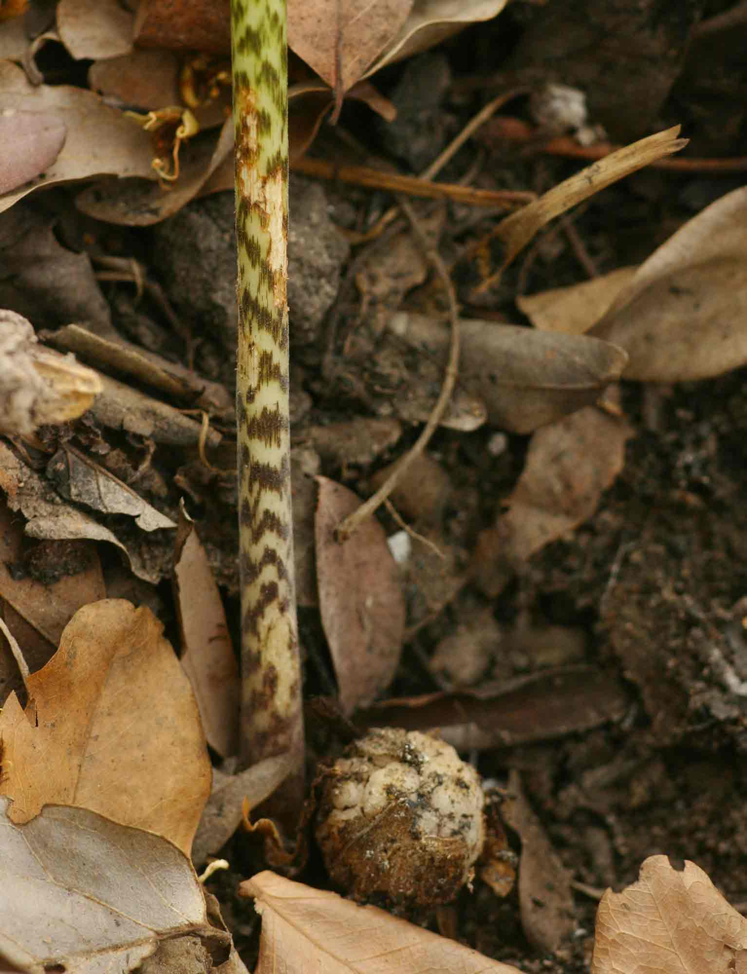 Stylochaeton puberulus