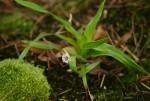 Mesanthemum africanum