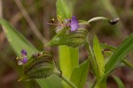Commelina schweinfurthii subsp. ceciliae