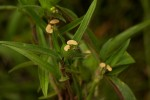 Commelina subulata