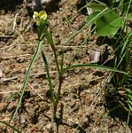 Commelina welwitschii
