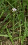 Murdannia simplex