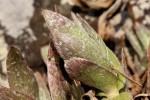 Cyanotis foecunda