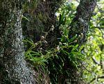 Cyanotis speciosa subsp. speciosa