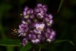 Floscopa glomerata
