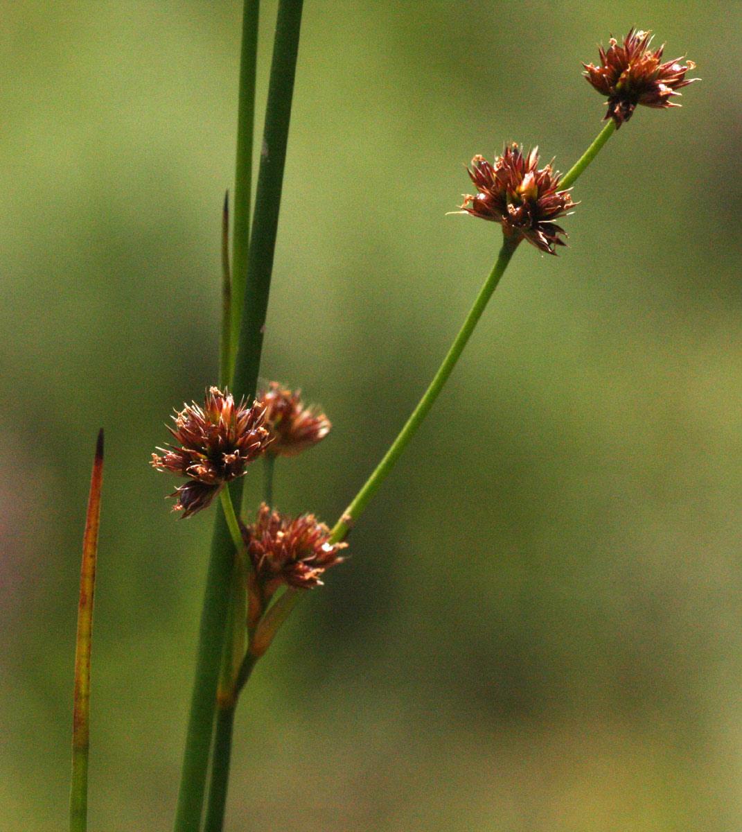 Juncus oxycarpus