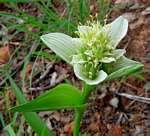 Androcymbium striatum