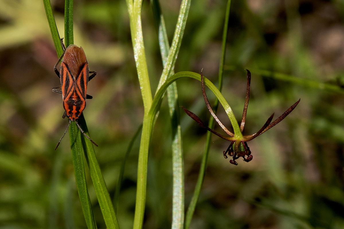 Iphigenia oliveri