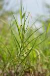 Camptorrhiza strumosa