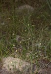 Trachyandra arvensis