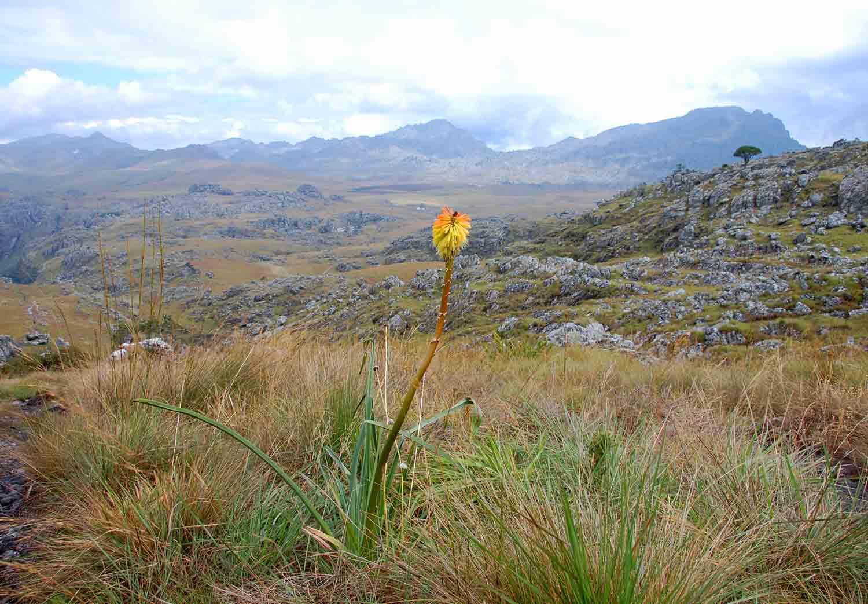 Kniphofia linearifolia