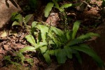 Chlorophytum brachystachyum