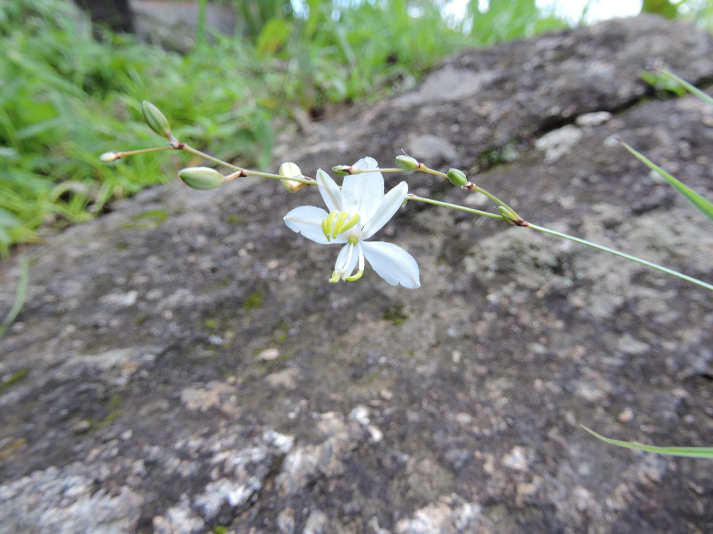 Chlorophytum galpinii var. matabelense
