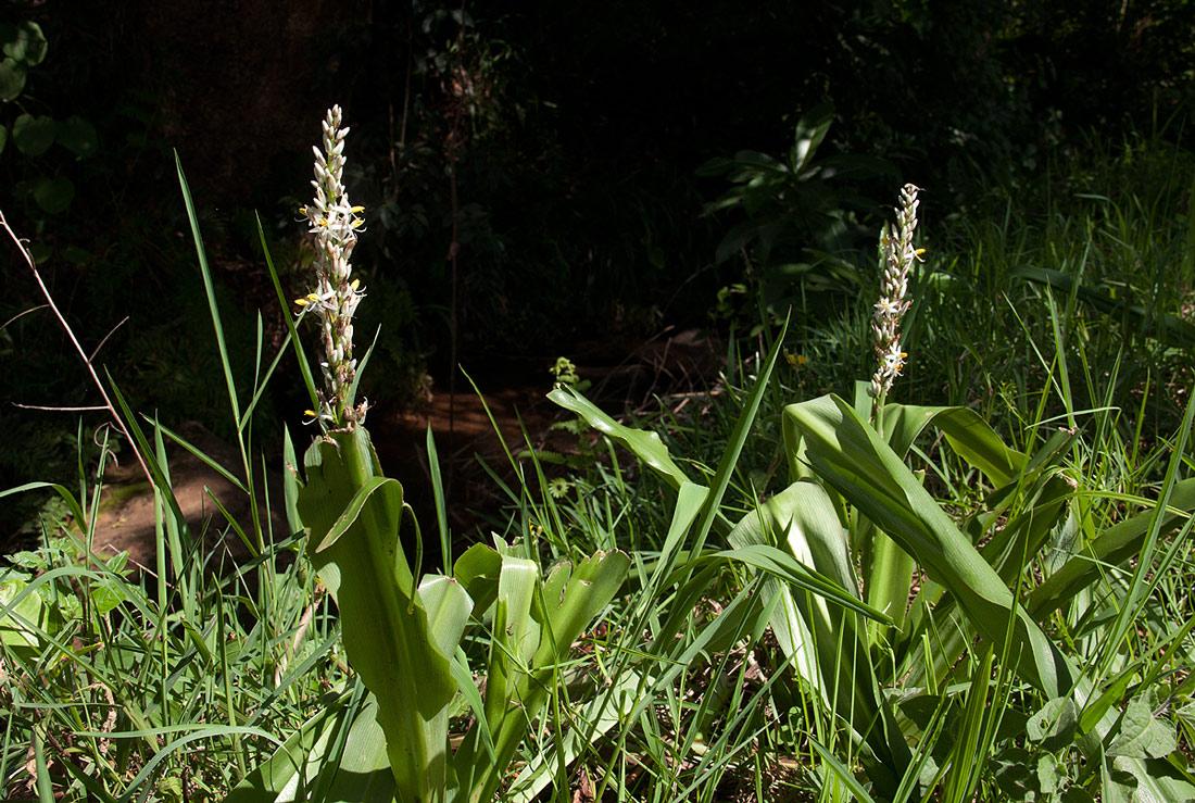 Chlorophytum macrophyllum