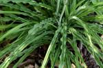 Chlorophytum macrosporum