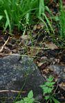 Chlorophytum polystachys